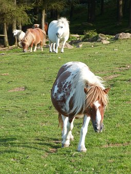 Pony, Pastures, Ponies, Equines, Horse, Field, Grass