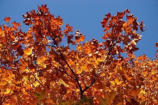 Fall Foliage, Maple, Colorful, Leaves, Bright, Autumn