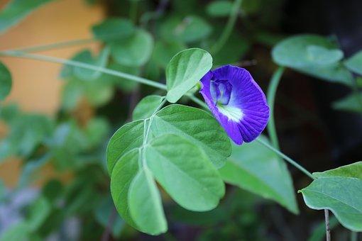 Flower, United Parking Ultramarine, Clitoria Ternatea