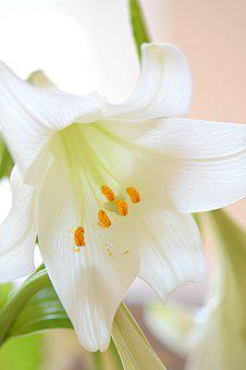 Lily, White, Flower, Bloom, Nature, Blossom, Plant
