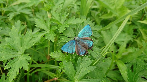 Butterfly, Blue Butterfly, Nature, Greens, Grass