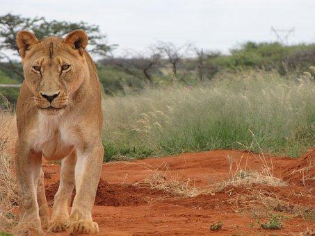 Female, Lion, Nature, Africa, Lioness, Predator, Mammal