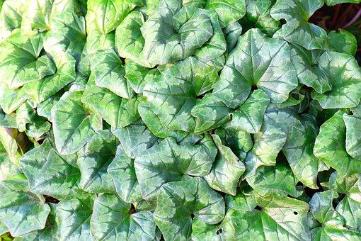 Efeu, Ivy, Nature, Foliage, Leaves, Plant, Green