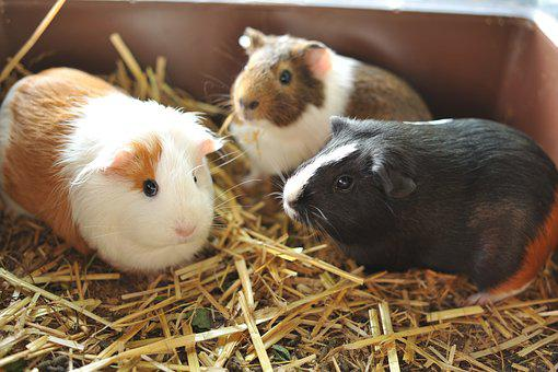 Guinea Pig, Friends, Pet, Sweet, Animals, Cute, Joy