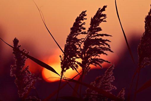 Plume, Reed, Sunrise, Silhouette, Feathery, Phragmites