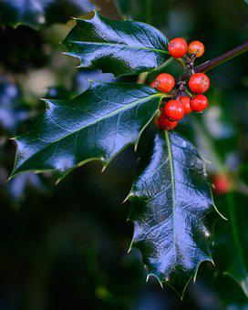 Holly, Leaves, Berry, Red, Christmas, Plant, Festive