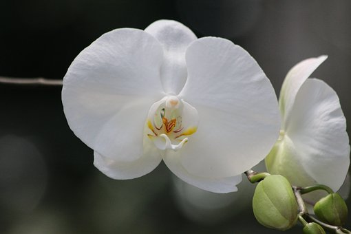 White Orchid, Flower Orchid, Phalaenopsis, Plant