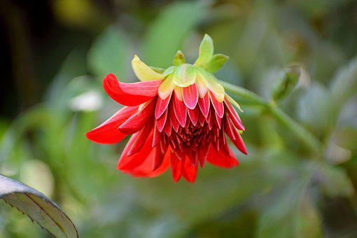 Flower, Nature, Red, Blossom, Bloom, Plant, Garden