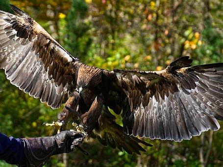 Adler, Raptor, Prey, Eat, Bird Of Prey, Animal, Flying