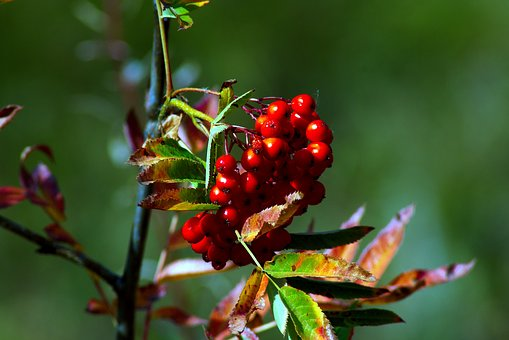 Red Wild Rowan Berries, Red, Berries, Grand, Teton