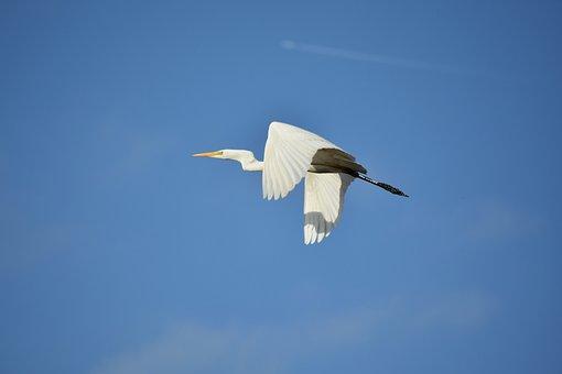 Animal, Sky, Cloud, Bird, Wild Birds, Heron, Egret