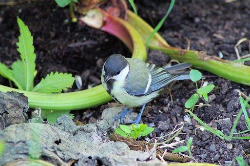 Tit, Bird, Songbird, Small Bird, Cute, Animal, Plumage
