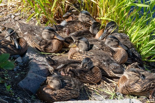 Duck, Waterfowl, Bird, The Brood, Family, Winged