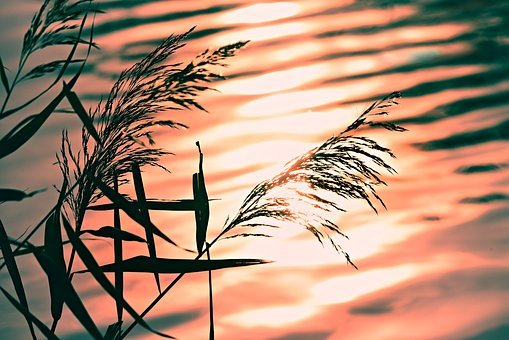 Rushes, Reed, Water, Ripple, Pond, Silhouette, Sunrise