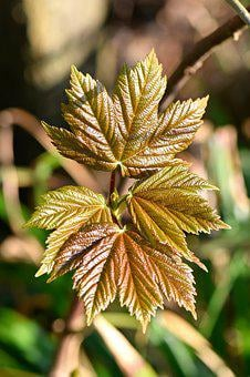 Maple, Leaf, Nature, Wood, Green, Plant, Texture, Trees