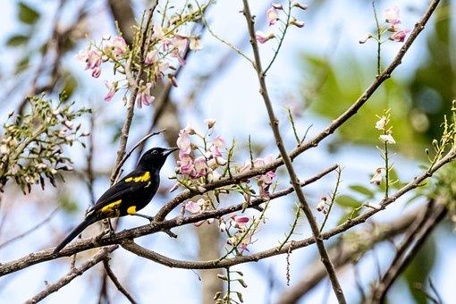 Cuba, Cienaga De Zapata, Oriole, Yellow And Black, Bird