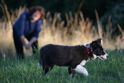 Border Collie, Dog, Puppy, Collie, Animal, Pet, Playful