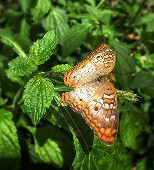 Butterfly, Nature, Animal, Wildlife, Fauna, Outdoors