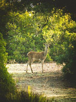 Roe Deer, Nature, Animal, Wild, Animal World, Forest