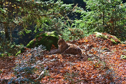 Lynx, Forest, Wildcat, Nature, Animal World