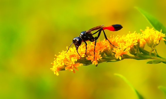 Grzebaczowate, Błonkówka, Insect, Antennae
