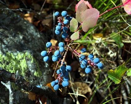 Blue Wild Berries In Tetons, Blue, Berries, Grand