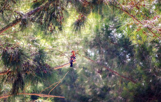 Forest, Trees, Pine, Hoopoe, Bird, Wildlife, Nature