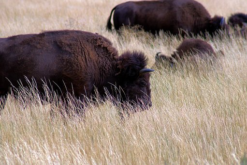 Bison Near Kelly, Bison, Herd, Nature, Buffalo, Horns