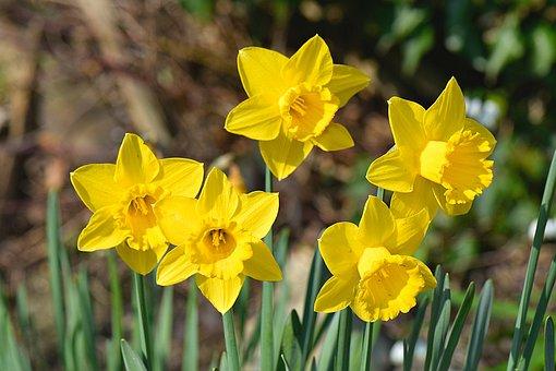 Daffodil, Flowers, Spring, Bloom, Garden, Blossom