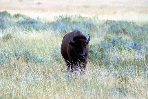 Bison Near Kelly Wyoming, Bison, Nature, Buffalo, Horns