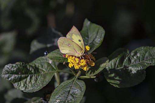 Butterfly, Yellow, Pink, Green Plant, Flowers, Wildlife