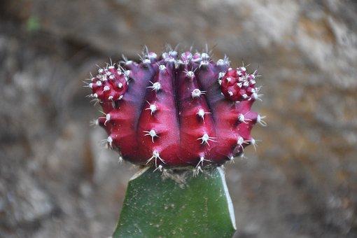 Cactus, Cacti, Plant, Garden, Greenery, Green Plant