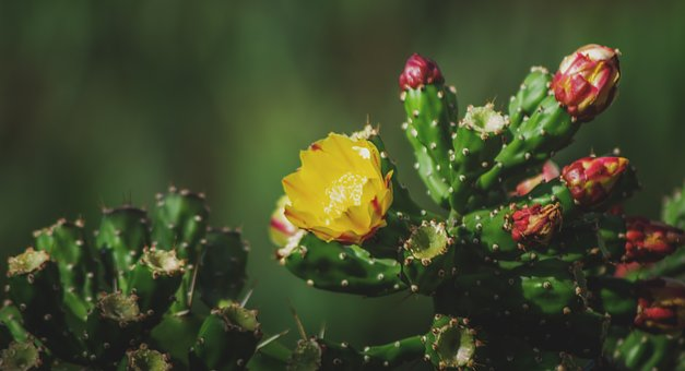 Cactus, Prickly Pear, Yellow, Flower, Red, Green, Fruit