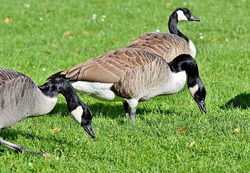 Canada Goose, Goose, Water Bird, Wild Goose