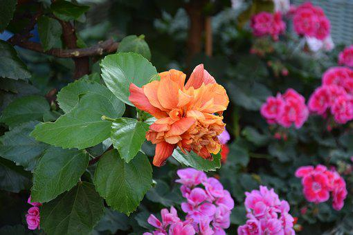 Flowers, Geranium, Colorful, Orange, Garden, Balcony