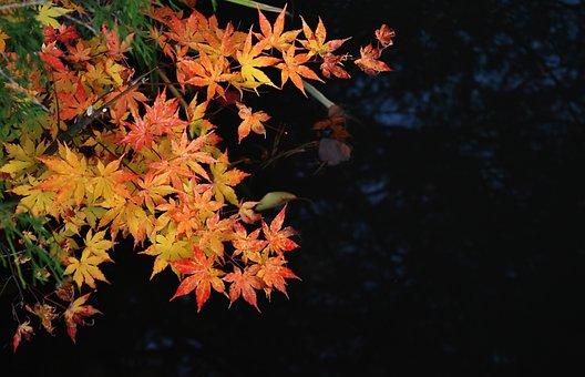 Autumn, Maple, Autumnal Leaves, Kaede, Contrast