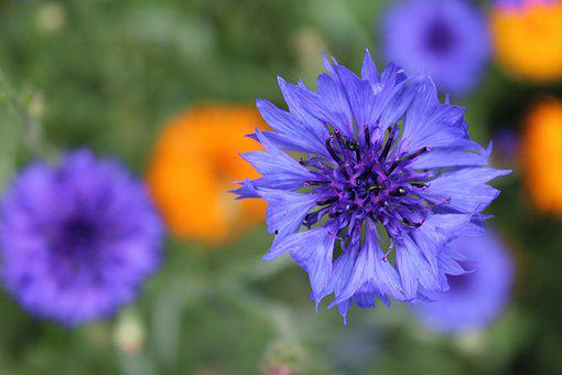 Cornflower, Blossom, Bloom, Nature, Cereals, Plant