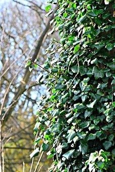 Efeu, Ivy, Tree, Nature, Bark, Trunk, Leaf, Creeper
