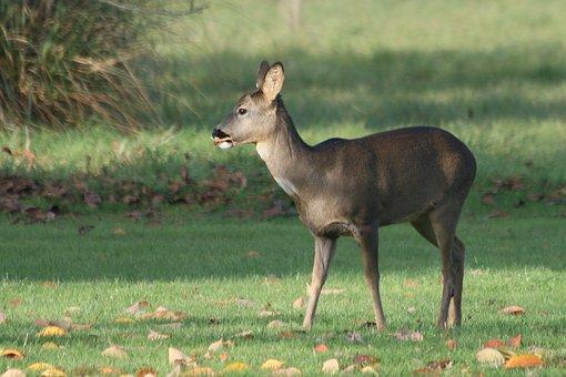Deer, Autumn, Wildlife, Nature, Bambi, England