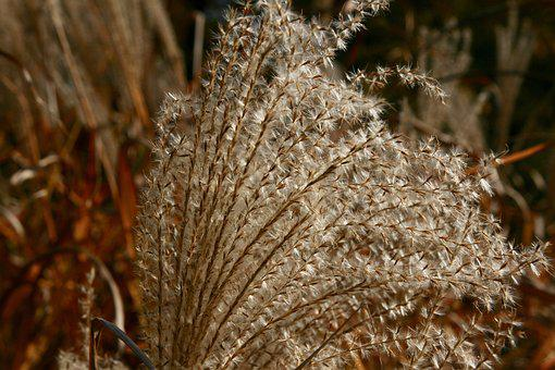 Autumn, Dried Flowers, Grasses, Dry