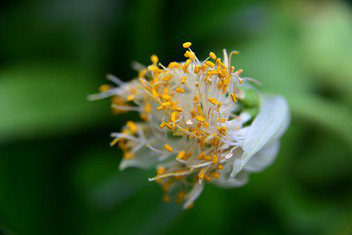 Elephant Ear, Blossom, Bloom, Pollen
