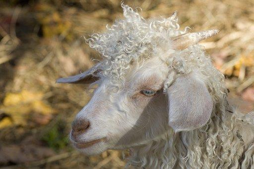 Goat, Farm, Fall, Animal