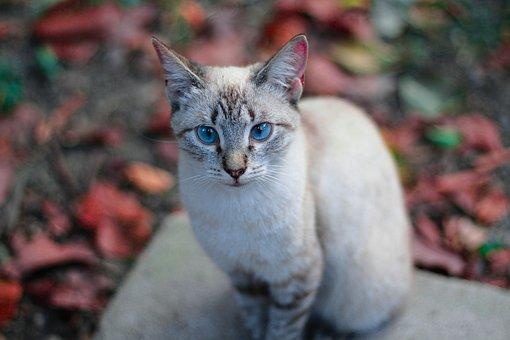 Cats, Blue Eyes, Feline, Pet, White, Cute, Portrait