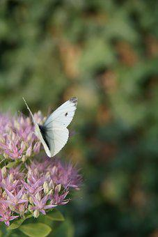 Butterfly, Flower, White Butterfly, Pink Flower, Nature