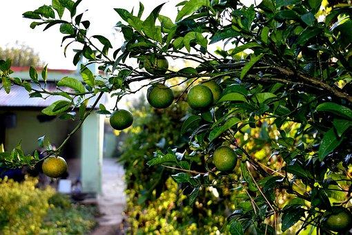 Fruits, Raw, Oranges, Food, Fresh, Healthy, Ripe, Sweet