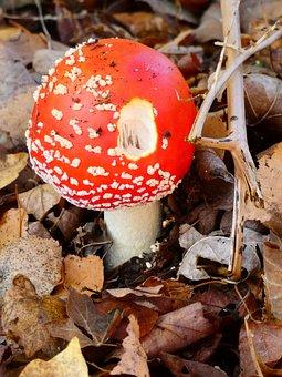 Mushroom, Autumn, Red-white, Around, Forest Floor