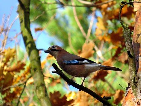 Bird, Jay, Tree, Forest, Beak, Ornithologist