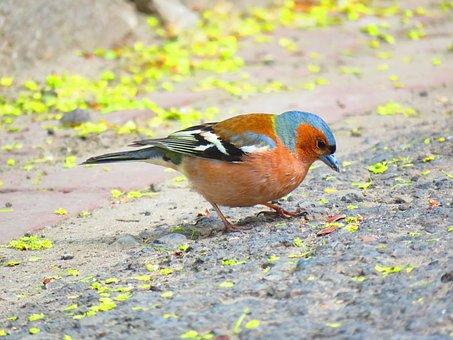 Bird, Chaffinch, Nature, Garden, Seeds, Pen