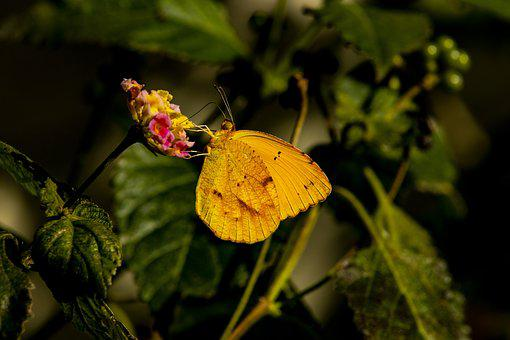 Butterfly, Yellow, Insect, Wildlife, Flower, Green