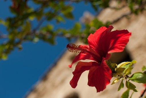 Hibiscus, Hibiscus Syriacus, Flower, Red, Malvaceae